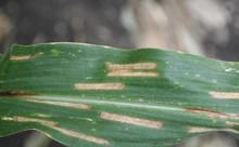 Cercospora_leaf_spot_1.jpg