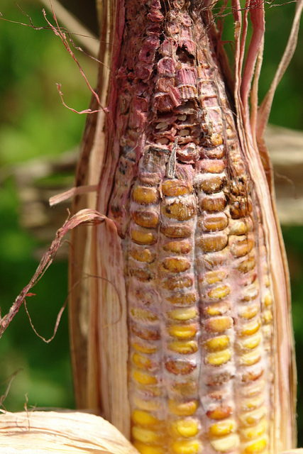 Maize (corn) | Diseases and Pests, Description, Uses, Propagation