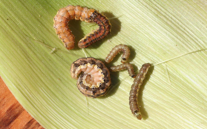 Fruitworm_1.jpg