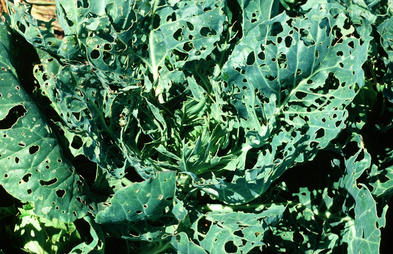 Cabbage_worm_2.jpg