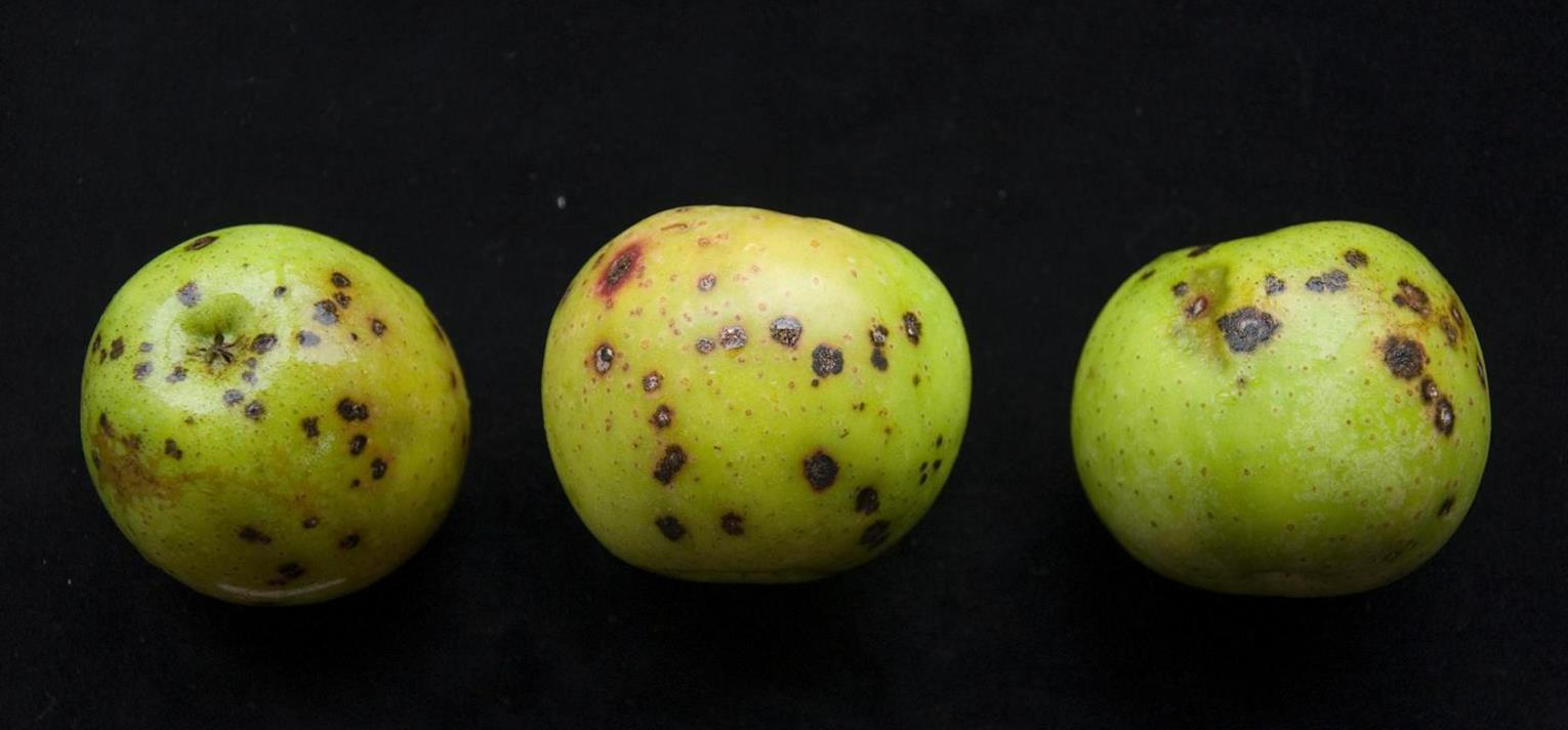 Apple | Diseases and Pests, Description, Uses, Propagation