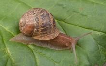 European_brown_snail.jpg