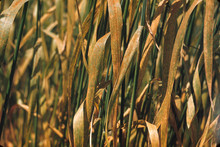 Wheat_leaf_rust_D_Hershman_KY.jpg