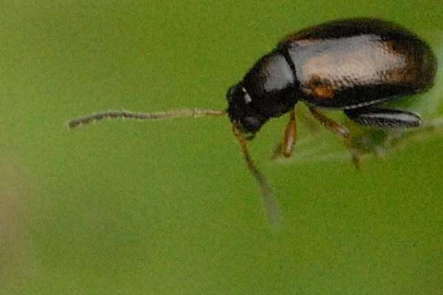 Phyllotreta.cruciferae.-.lindsey.jpg