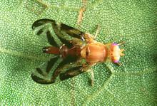 800px-Caribbean_fruit_fly_Anastrepha_suspensa_-_female.jpg