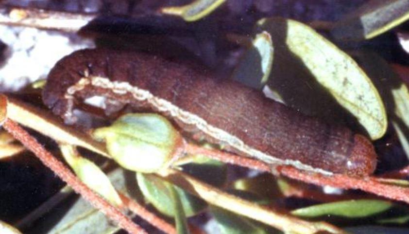 Cranberry_blossom_worm_larva.JPG