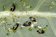 Flea_beetles_3.jpg