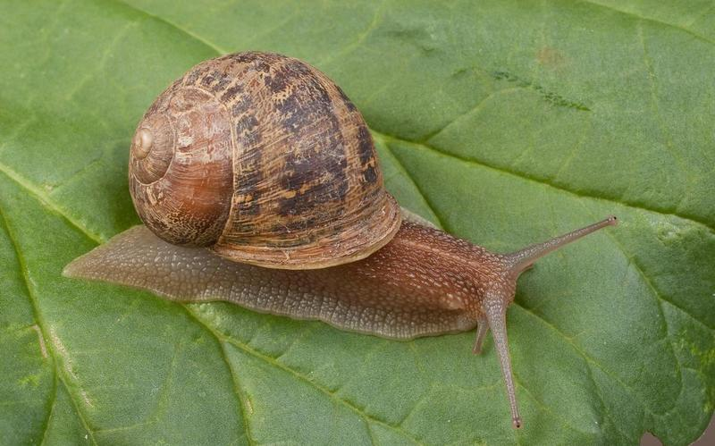 European_brown_snail.jpg
