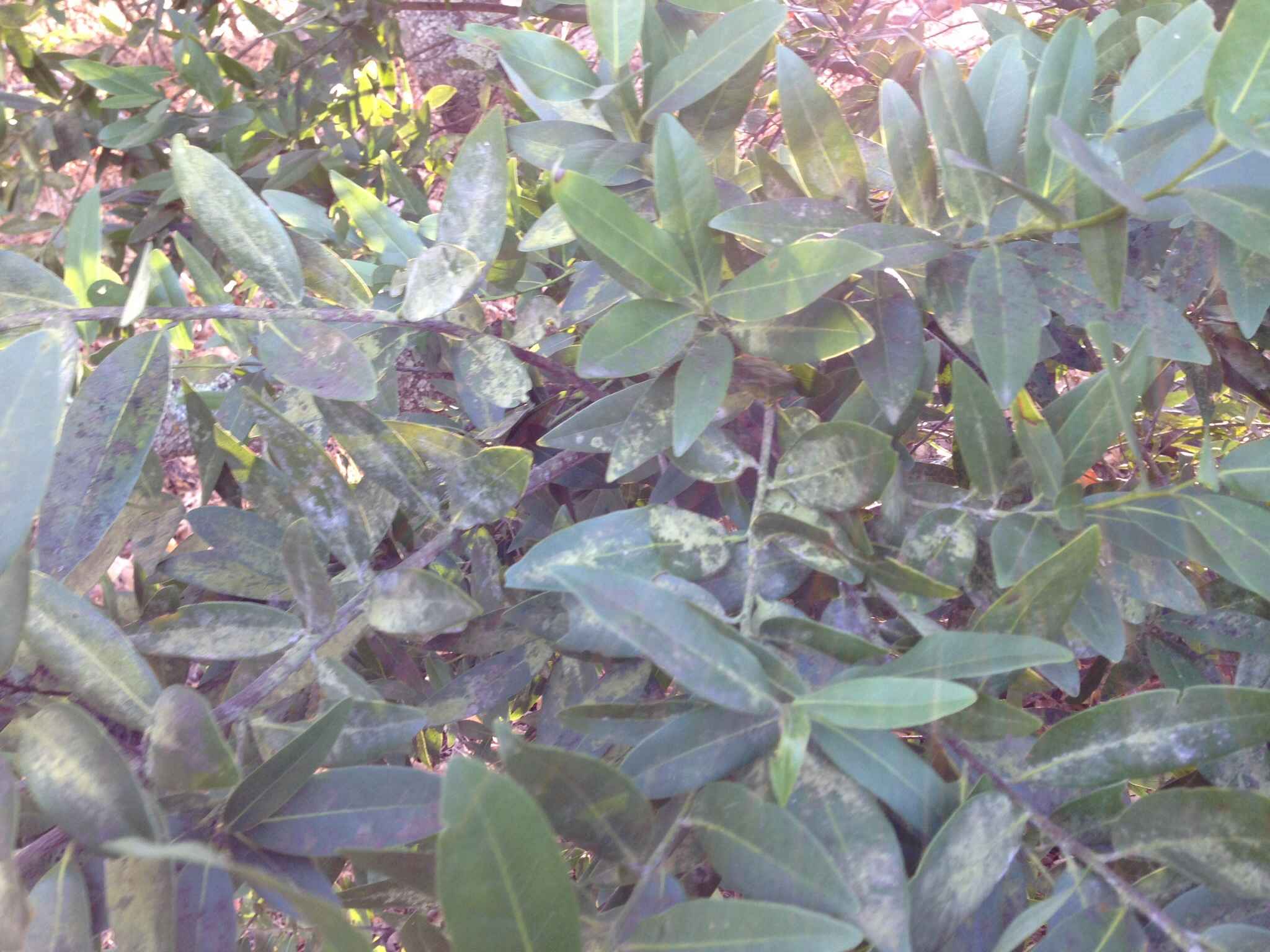 California bay laurel leaves covered with black moldy looking substance