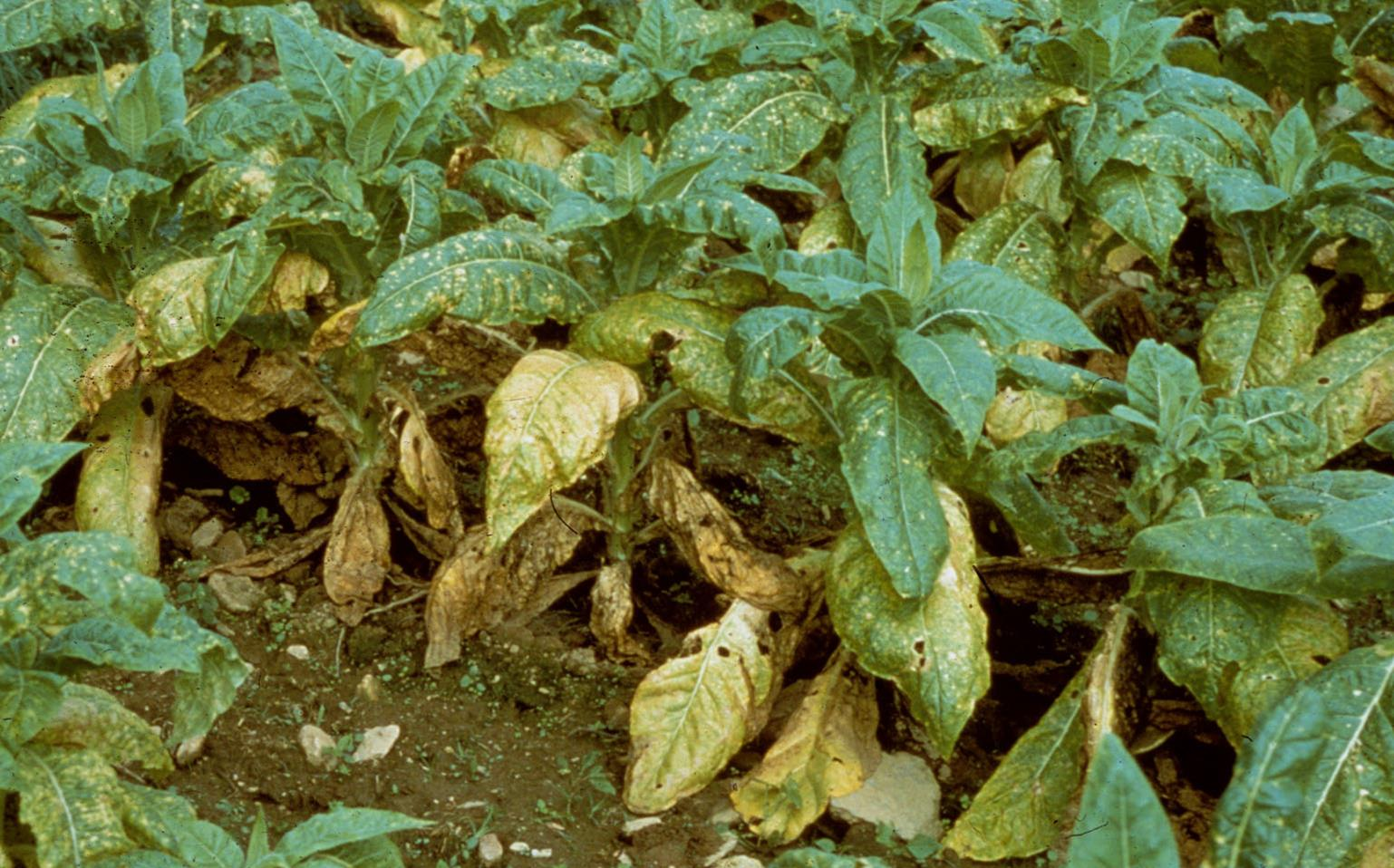 Tobacco | Diseases and Pests, Description, Uses, Propagation