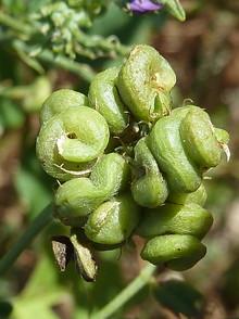 Alfalfa_frutos-7.JPG