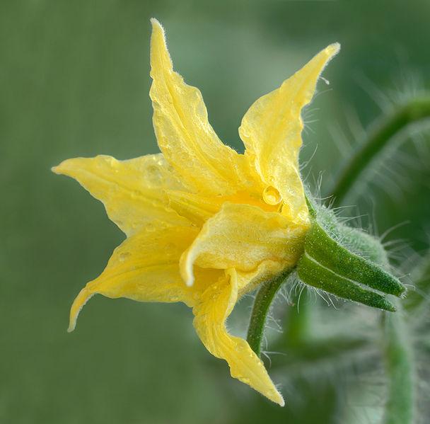 608px-Solanum_lycopersicum_-_Tomato_flower_(aka).jpg