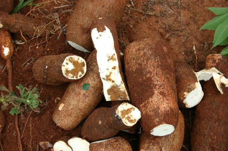 Cassava_brown_streak_3.jpg
