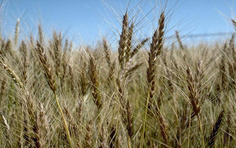 Winter_wheat_2.jpg