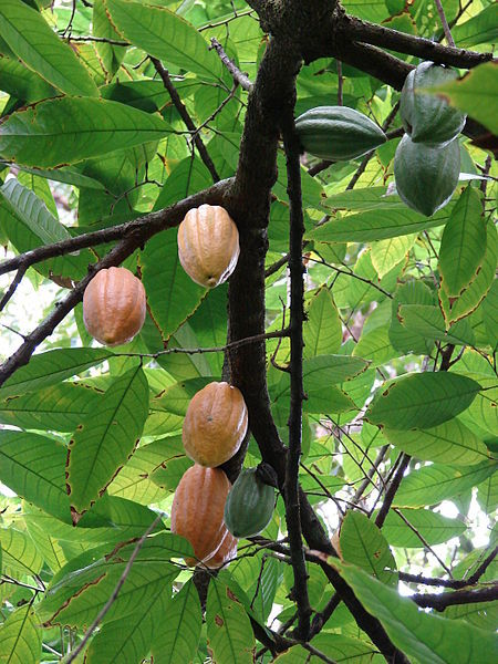 450px-Starr_070321-6121_Theobroma_cacao.jpg