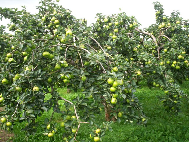Apple_Tree._-_geograph.org.uk_-_556176.jpg