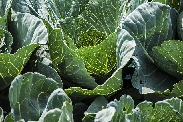 Cabbage (red, white, Savoy)