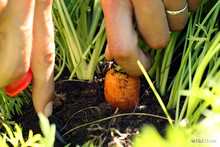 670px-Harvest-Carrots-Step-2.jpg
