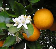 OrangeBloss_wb.jpg