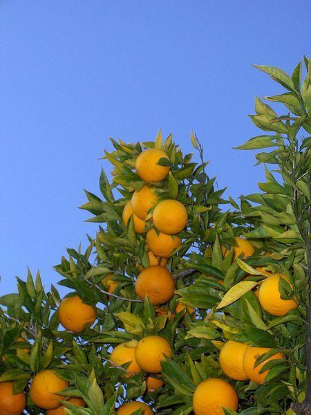 450px-Orange_tree_(chez_fine).jpg