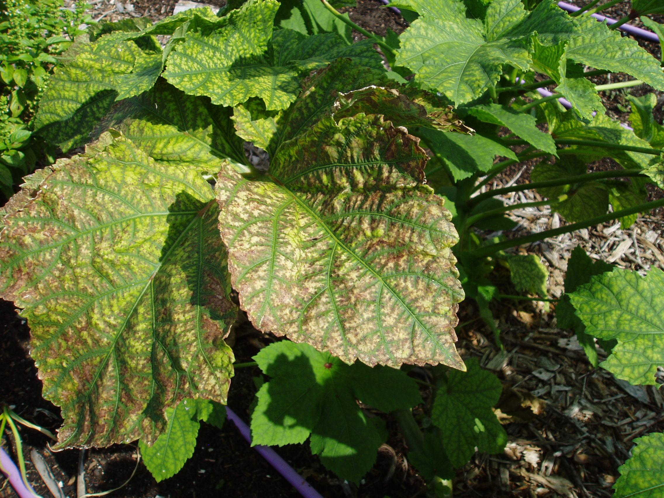 Okra - brown leaves