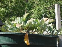 Kohlrabi leaves turning brown