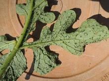 Underside of melon leaf.