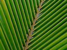 800px-A_coconut_palm_leaf_at_Madhurawada.JPG