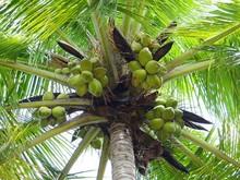 coconut-palm-172530_640.jpg