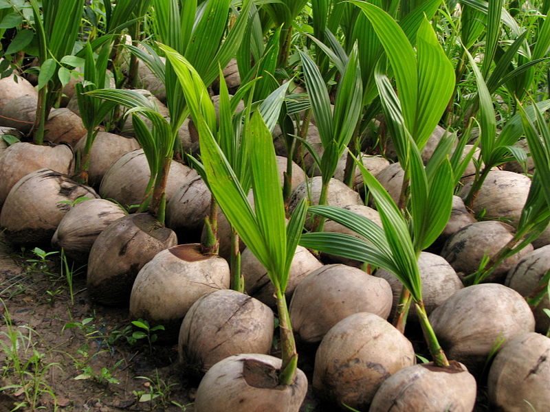 800px-Vietnam_08_-_142_-_baby_coconut_trees_(3185934892).jpg