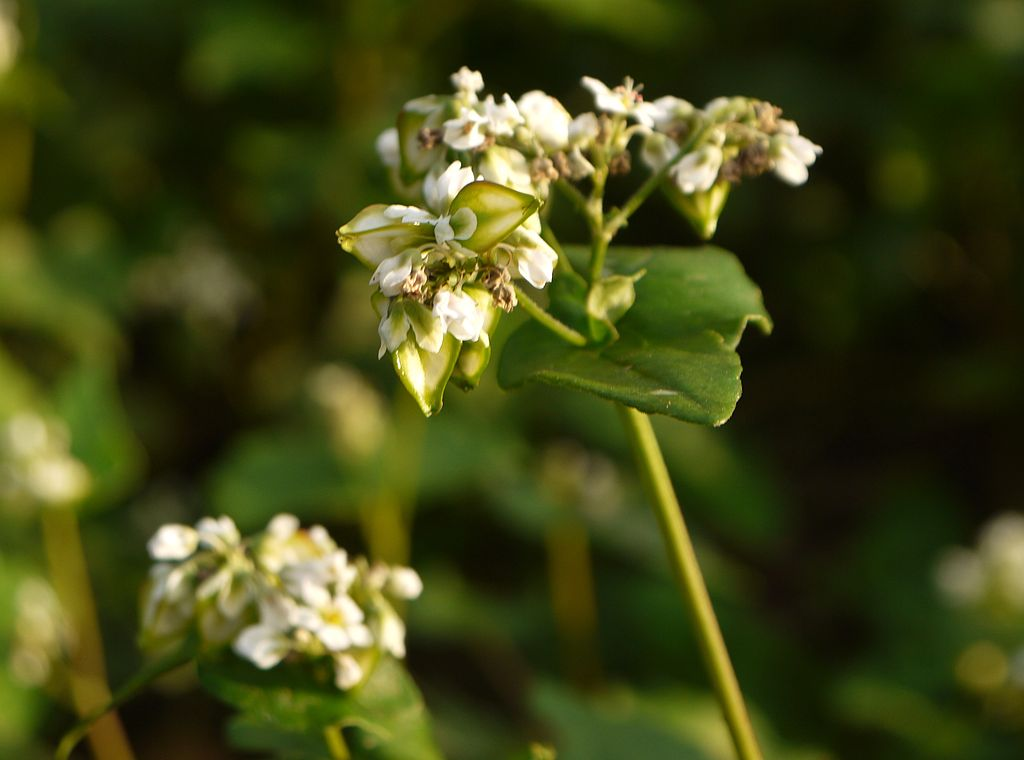 1024px-Japanese_Buckwheat_Flower.JPG