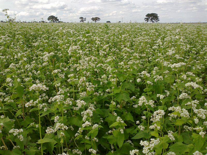 800px-Field_of_buckwheat_in_Brazil.jpg