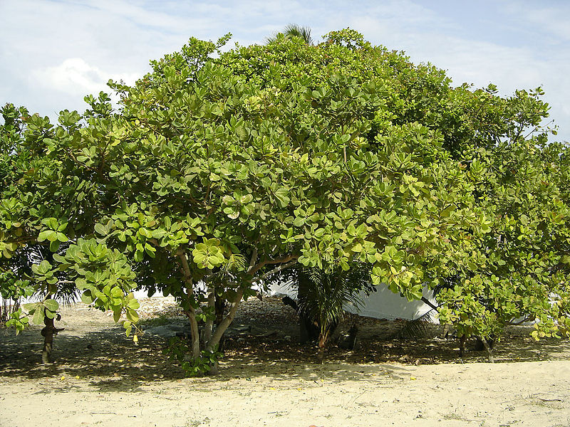 Cashew_Brazil_tree.jpg