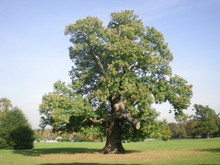 Sweet_Chestnut_tree_in_Carshalton_Park_-_geograph.org.uk_-_1534352.jpg