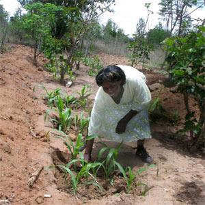 maize-eastern-kenya.jpg