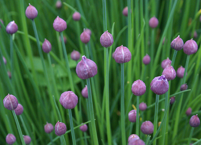 Chive flower heads
