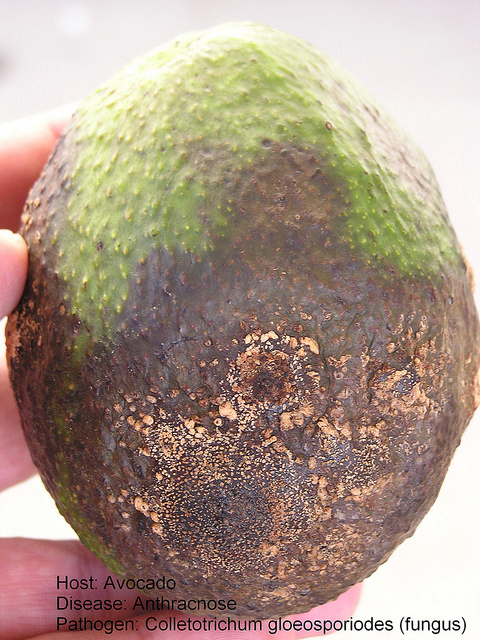 Avocado Diseases Pictures
