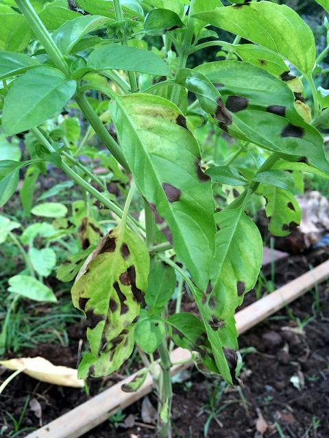 Basil | Diseases and Pests, Description, Uses, Propagation