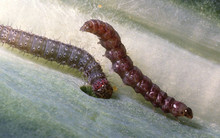 Diamondback_moth_larvae.jpg