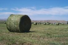 Alfalfa_round_bales.jpg