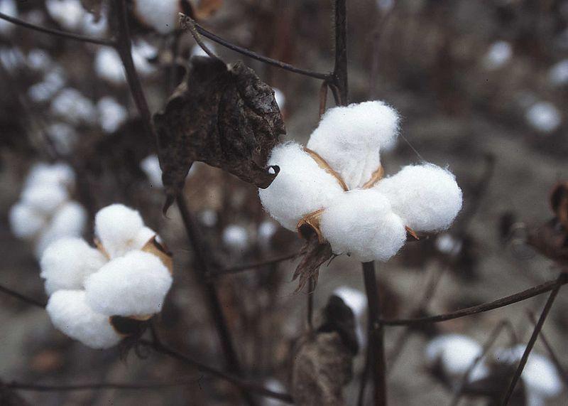 800px-CottonPlant.JPG