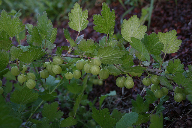 recipe: american gooseberry mildew treatment [26]