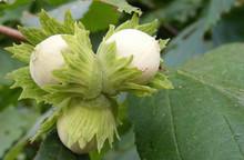 Hazelnut (filbert)