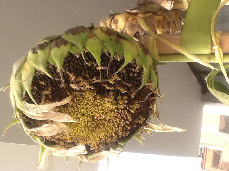 seeds in the sunflower heads