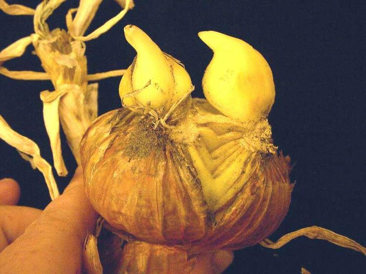 onion-basal-plate-splitting-2L.jpg