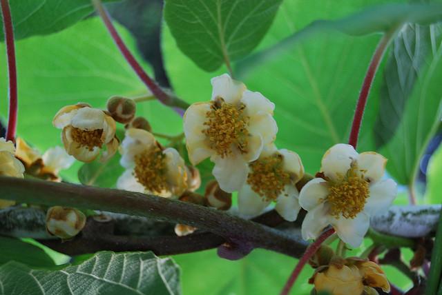Kiwi Diseases And Pests Description Uses Propagation