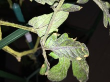 symptoms on tomato leaves