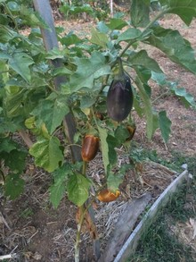 White-to-purple eggplant in the foreground and yellow-to-purple eggplant in the background