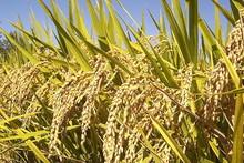 640px-Rice_Plants_(IRRI).jpg