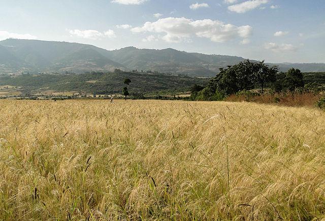 Tef_in_Ethiopia_01.jpg